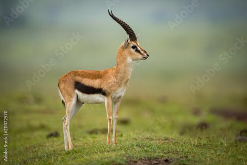Fototapeta Thomson gazelle standing in profile on mound