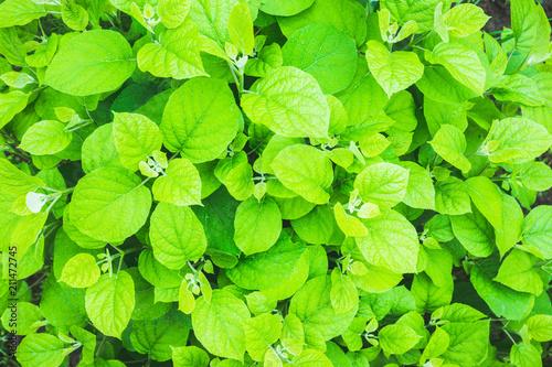 Hydrangea in the garden. Shallow depth of field. - 211472745