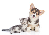 Corgi puppy and scottish tabby kitten lying together. isolated on white background - 211475321