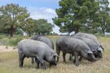 Cerdos ibéricos comiendo bellotas en un campo de encinas den Salamanca - 211478740