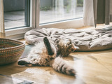 Fluffy cat lying funny on the floor and playing in a cozy bright room at window - 211480145