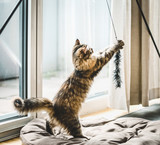 Fluffy kitten playing  with cat toy at  window in a cozy bright room - 211480510