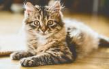 Portrait of a fluffy Siberian kitten on the floor in sunny room - 211480569