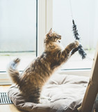 Siberian cat game.  Fluffy Kitten jumping and catches a toy at window in light cozy room - 211481116