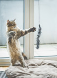 Cat game.  Funny fluffy kitten stands on its hind legs and plays with a hanging cat toy at window in cozy room - 211481130