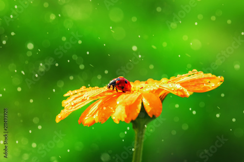 Leinwanddruck Bild Ladybug on daisy flower and water drops, abstract background