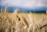 Erntereifes Getreide auf Feld, Landwirtschaft und Ackerbau, Freiraum  - 211496140