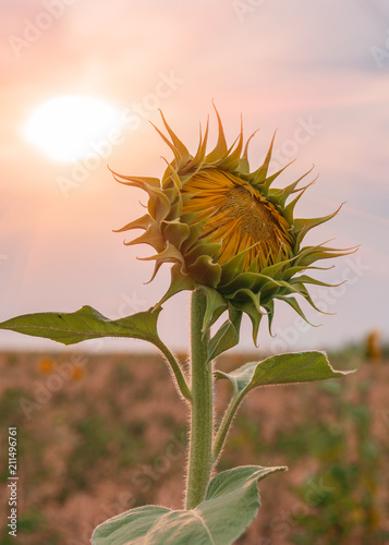 Aluminium Natuur Beautiful sunflowers in the field natural background