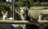Donkeys on farm - 211504332