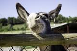 Donkeys on farm - 211505586