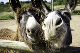 Donkeys on farm - 211505745