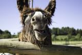 Donkeys on farm - 211506368