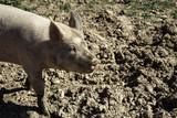 Vietnamese farm pig - 211506909