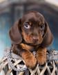 Leinwanddruck Bild - Dachshunds puppy