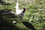 Rooster on farm - 211507928