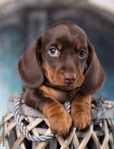 Leinwanddruck Bild Dachshunds puppy