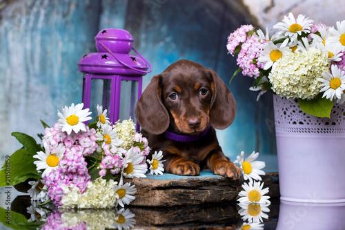 Leinwanddruck Bild dachshund puppy brown tan color and flowers