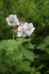 Geranium eriostemon var. reinii in Ibuki mountain, Japan