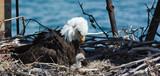Mom and baby Bald Eagle