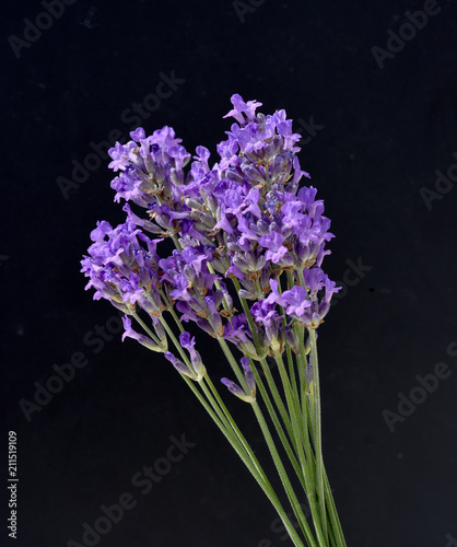 Lavendel, Lavendula, angustifolia, Heilpflanze