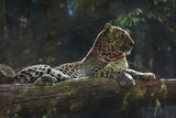 white big leopard © Denis Tabler