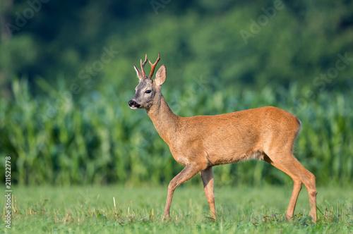 Fototapeta Wild roe deer in a field