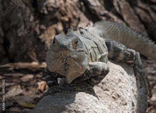 Fototapeta black spiny iguana, black iguana or black ctenosaur in the ruins of the former mayan city edzna, mexico
