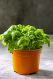 Bunch of fresh basil on concrete background. Fresh green basil with copy space. Selective focus