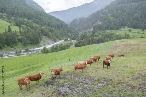 Fotobehang Pistache brown cows in mountain meadow near col de vars in french alps of haute provence