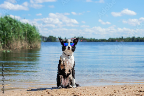 cool border collie dog on the beach - 211545347