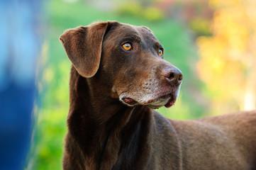 Chocolate Labrador Retriever dog portrait with colorful background