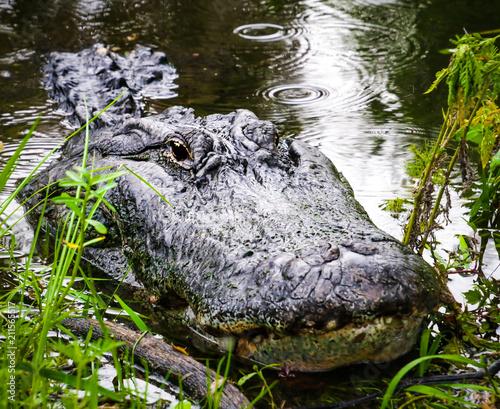 Fototapeta American Alligator