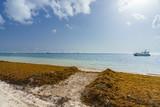 Punta Cana, Dominican Republic - June 17, 2018: : sargassum seaweeds on ocean beach in Bavaro, Punta Cana. Due to global warming, the altered ocean current bring sargasso to Dominican Republic coast. - 211565983