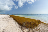 Punta Cana, Dominican Republic - June 17, 2018: : sargassum seaweeds on ocean beach in Bavaro, Punta Cana. Due to global warming, the altered ocean current bring sargasso to Dominican Republic coast. - 211565998