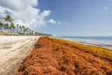 Punta Cana, Dominican Republic - June 17, 2018: : sargassum seaweeds on ocean beach in Bavaro, Punta Cana. Due to global warming, the altered ocean current bring sargasso to Dominican Republic coast. - 211566117