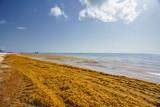 Punta Cana, Dominican Republic - June 17, 2018: : sargassum seaweeds on ocean beach in Bavaro, Punta Cana. Due to global warming, the altered ocean current bring sargasso to Dominican Republic coast. - 211566131
