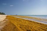 Punta Cana, Dominican Republic - June 17, 2018: : sargassum seaweeds on ocean beach in Bavaro, Punta Cana. Due to global warming, the altered ocean current bring sargasso to Dominican Republic coast. - 211566152