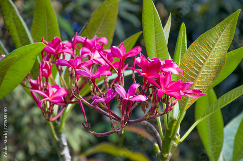 Plexiglas Plumeria Tropical pink flower Plumeria or Franzhipani