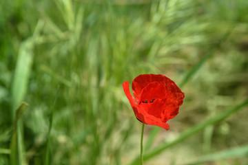 Wild red poppy flower