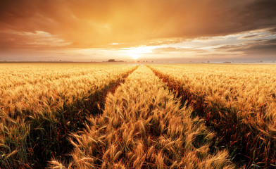Landscape with wheat field, agriculture - panorama © TTstudio