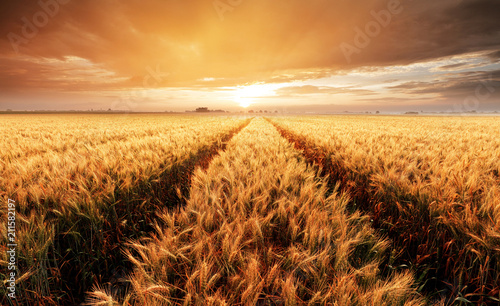 Landscape with wheat field, agriculture - panorama - 211582197