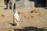 meerkat patrol inspects the area in search of danger - 211587140
