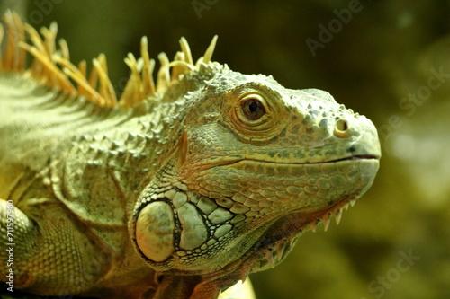 Fototapeta Green iguana