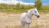 Portrait view of a beautiful dotted white horse standinge in slow motion Full HD 1920p - 211599359