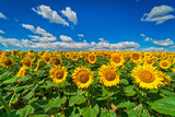 Sonnenblumen mit Quellwolken - 211601377