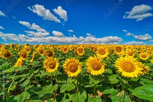 Foto Murales Sonnenblumen mit Quellwolken