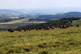 troupeau de vache en Auvergne