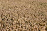 Top view on a golden ripe wheat field in summer - 211613546