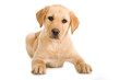 Liegender Labrador Retriever Welpe isoliert auf weißem Hintergrund - 211616152