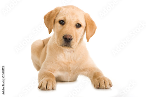 Leinwanddruck Bild Liegender Labrador Retriever Welpe isoliert auf weißem Hintergrund
